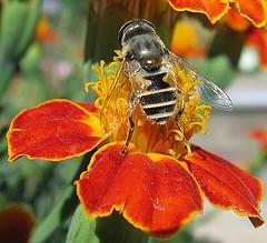 تحقیق درباره زنبور عسل 47 ص